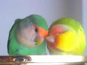 lovebird-couple-pale